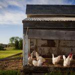 Le poulailler, un cadre idéal pour l'élevage et la sécurité des poules